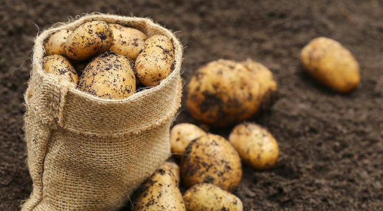 Заменит ли египетский картофель белорусскую бульбу?